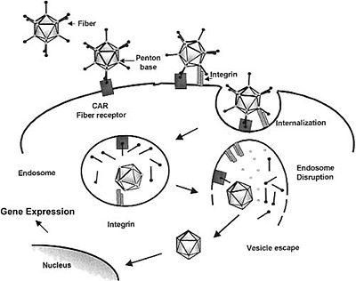 Adenovirus Entry