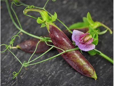 Garden-Pea-Tendril-Pea-Sugar-Magnolia-LSS-000 6459.jpg
