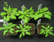 Genetically identical plants grown in simulated shade (top) or sun (bottom).  Cool!