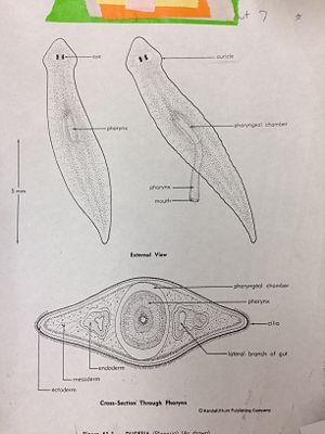 Flatworms Diagram
