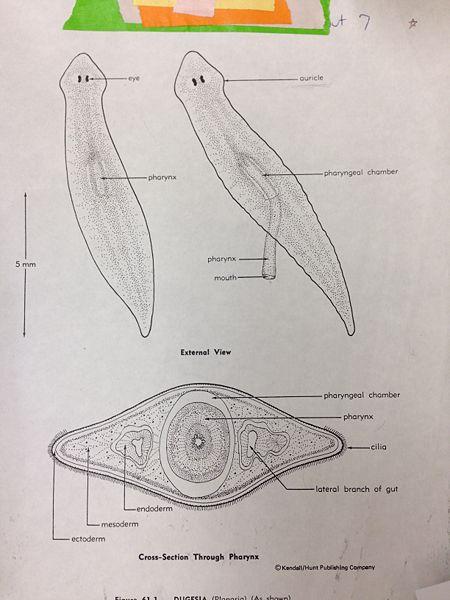 File:Flatworm krb.jpeg