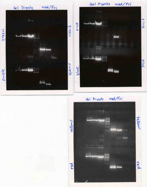 Agarose gels for Wednesday/Friday section