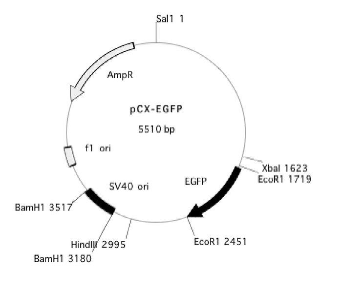 File:Be109pCX-EGFP.jpg