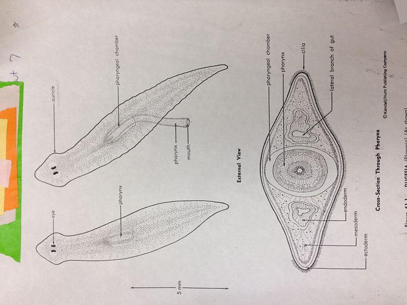 File:Flatworm.jpeg