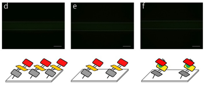 Fig. 2.3.2.2 Fluorescence images of DNA shells in a microchannel