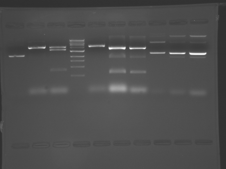 File:S10 M2D5 WF gel-Red.jpg