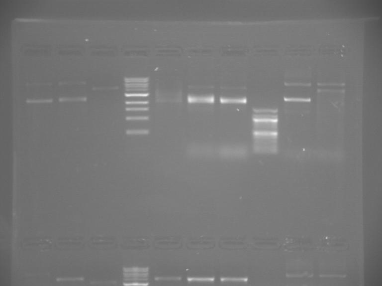 File:S13 M2D5 WF gel-Green.jpg