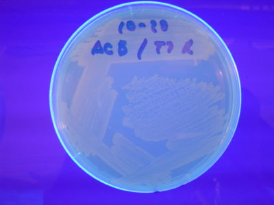 Figure 6: HPP-A1 - These colonies fluoresced red
