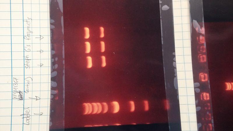 File:Lab Notebook Gel Electrophoresis.jpg
