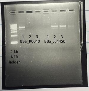 PCR Felicia.jpg