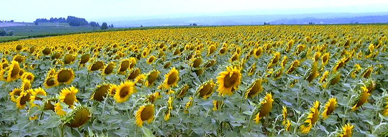 File:Sunflowers in France.jpg