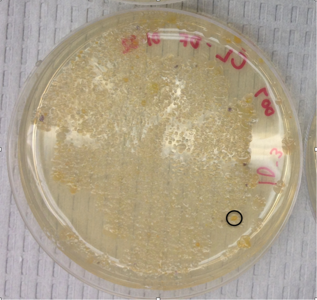 File:DEFbacterialcolony3.png