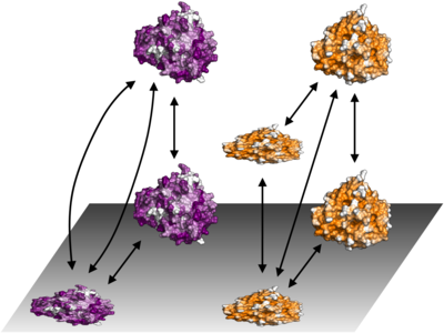 Generalized adsorption and desorption schemes for AdhD (purple; homology model) and hAR (orange; PDB:2ACQ) (Felsovalyi, Patel, Mangiagalli, Kumar, and Banta, 2012 Protein Science)
