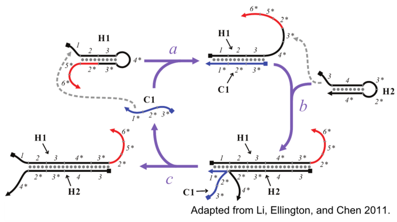 Figure 3: CHA amplifies the signal of low concentrations of catalyst through the generation of multiple H1:H2 duplexes.