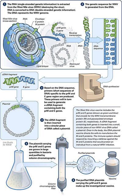 DNA vaccine.jpg