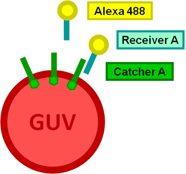 Image:Alexa labeled DNA oligonucleoides as target species.png