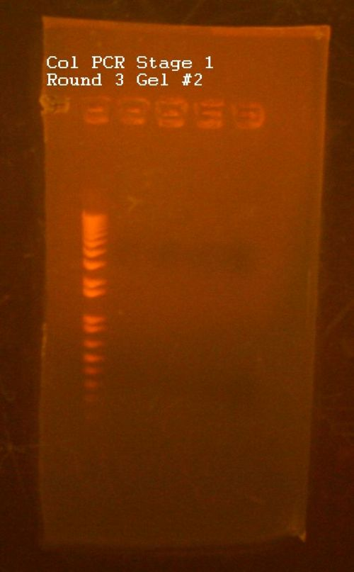 Col PCR Gel -2.jpg