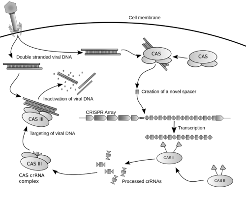 A possible model for function of a type I CRISPR system.  Transcripts of the CRISPR loci are processed into crRNAs by CAS II and direct cleavage of foreign DNA by a complex containing the Cas3 Nuclease.  Originally from CRISPR on Wikipedia