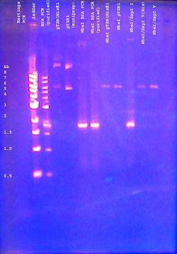 DNA gel 110621 analytical 001 annotated.jpg