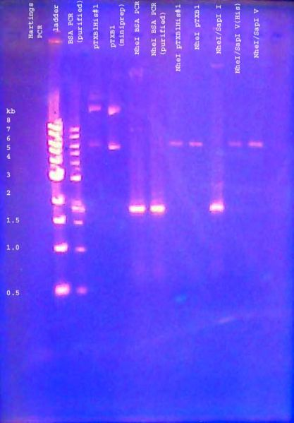 File:DNA gel 110621 analytical 001 annotated.jpg