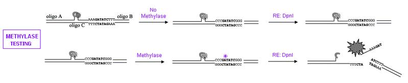 File:II09 methylase1.jpg