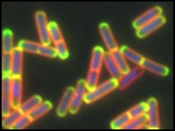 B. subtilis cells with ConE-GFP (green), membrane (red), and DNA (blue) shown.