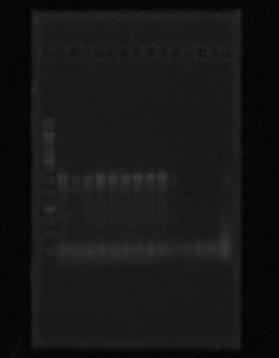 Taq platinum PCR trpL+pSB1C3. Lane1:Ladder. Lanes 2,3 and 4: PCR amplified product trpL+pSB1C3. Template Dilutions 1:20 ,1:100 and 2:100 respectively. Tm at 58°C. Lanes 5,6 and 7: PCR amplified product trpL+pSB1C3. Template Dilutions 1:20 ,1:100 and 2:100 respectively. Tm at 60°C. Lanes 8,9 and 10: PCR amplified product trpL+pSB1C3. Template Dilutions 1:20 ,1:100 and 2:100 respectively. Tm at 63°C.Lanes 11,12 and 13: PCR amplified product trpL+pSB1C3. Template Dilutions 1:20 ,1:100 and 2:100 respectively. PCR mixture plus 5 μL of Dimethyl sulfoxide Tm at 58°C. Lanes 14 and 15: PCR amplified product trpL+pSB1C3. Controls.PCR mixture plus  and without 5 μL of Dimethyl sulfoxide, respectively. Tm at 58°C. Template:previous PCR reaction.