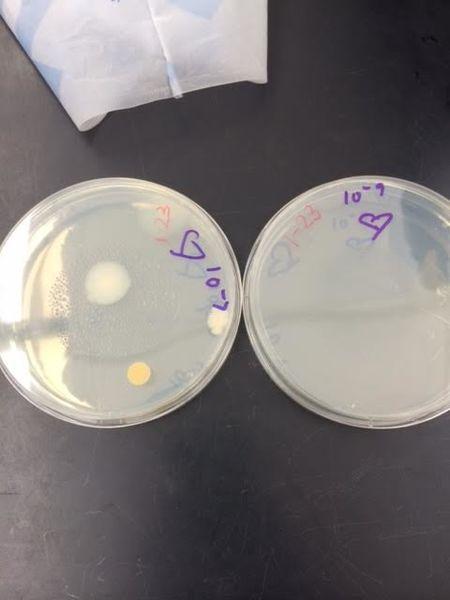 File:Bacteria 5.png