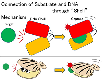 "Fig.2 Schematic of the ""Shell Mechanism"" in comparison with the natural shellfish"