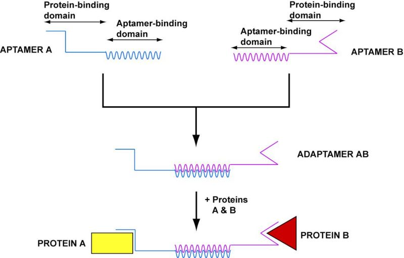File:Harvard2006-adaptamer-creation.jpg