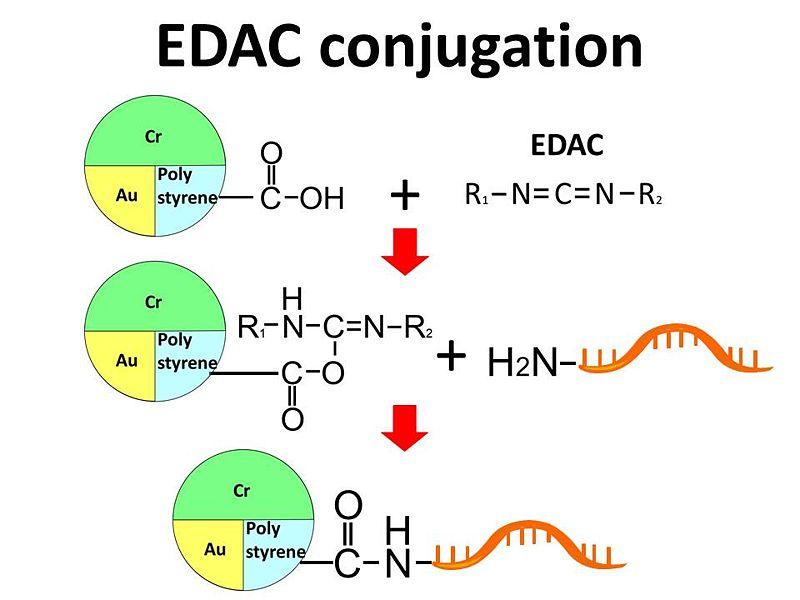 File:EDAC conjugation method.jpg