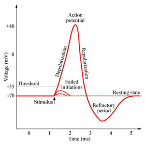 File:Action-potential.jpg