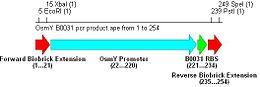 Osmy b0031 pcr prod.JPG