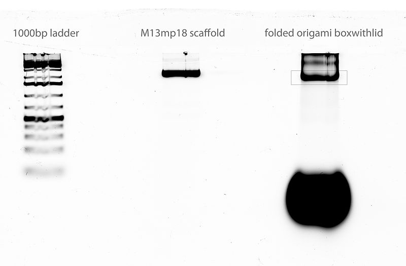 File:07-01-2011 gel scan labeled extractboxed.jpg