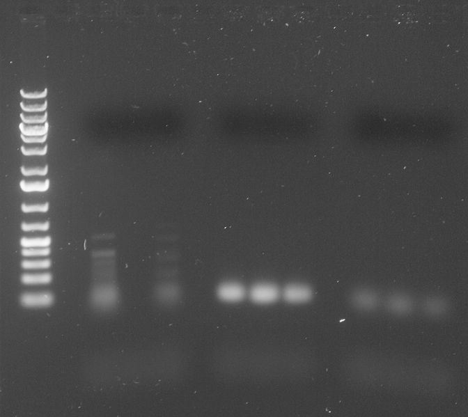 Image:2-24-15 AQE PCR Amplification.jpg