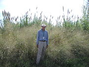 James Kiniry (USDA) at a field trial site, with switchgrass and Arundo donax in the background