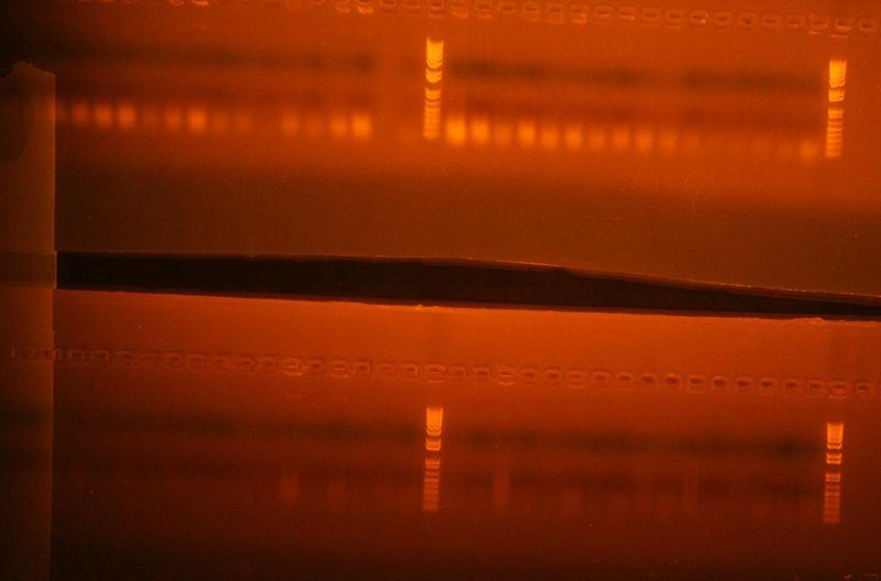 File:Colony PCR Stage1 A+B Columns 1-6 part 2.jpg