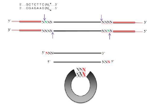 PCR Mutagenesis.png