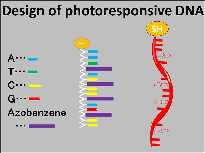 File:Azobenzene modified DNA.jpg