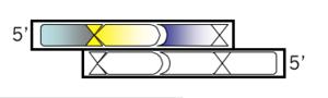 Macintosh HD-Users-nkuldell-Desktop-oligo v4.png