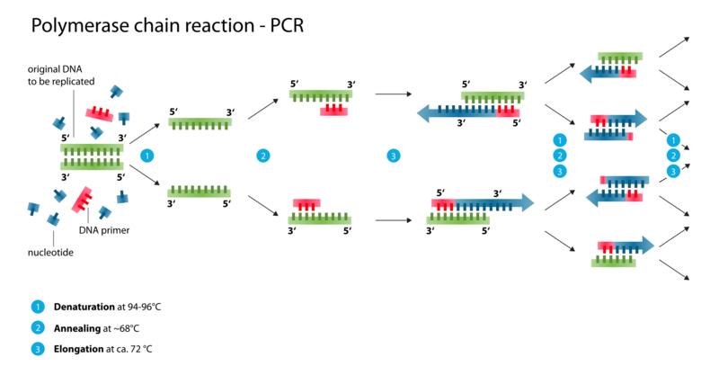 File:BME10 Polymerase chain reaction.png
