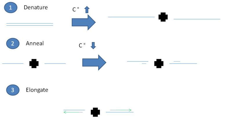 File:BME494 HaiTran PCR.PNG