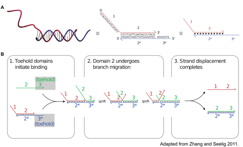 Figure 2: A: The shorthand associated with DNA circuitry is illustrated. DNA oligonucleotides are depicted in a purely linear fashion with arrow points indicating the 3' end of the oligo. Numbers and corresponding starred numbers indicate complementary sequences. B: Toehold and branch migration is illustrated with a simple three oligo circuit.
