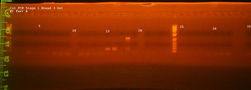 Col PCR Gel -1 Part A.jpg