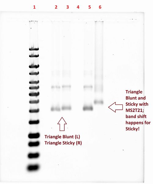 File:Figure 13-DO Triangle Gel. Successful band shift for Triangle Sticky with MS2T21..jpg
