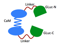 The GLucCam Protein in its Open State
