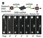 Figure 4g: Top panel is a schematic of the DNA/bead/trap/SSB used and bottom panel is the visualization of the system using the fluorescent microscope [1]