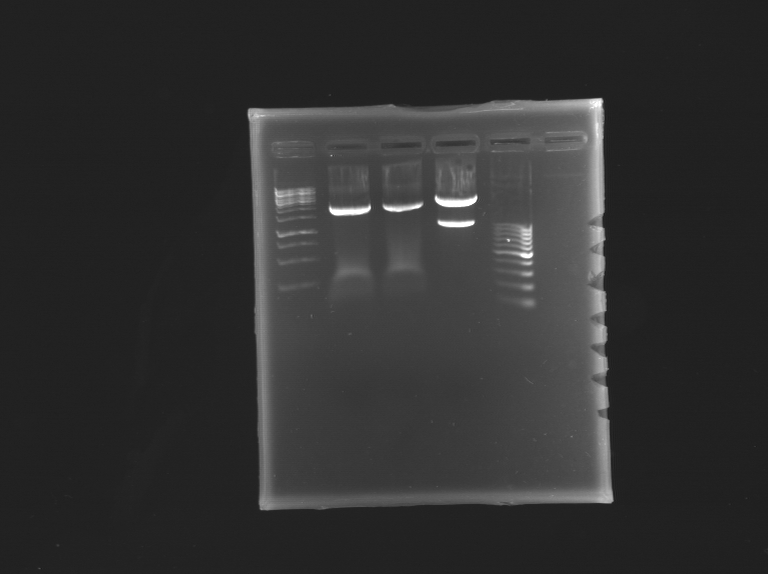 File:Gel pRG 2307 digestion2.png