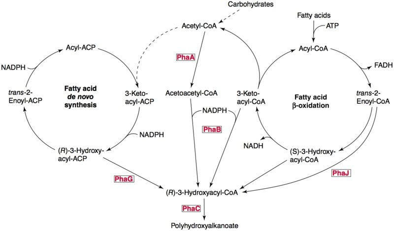 File:PHA pathways.jpg