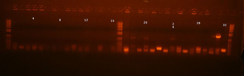 File:Colony PCR manual assembly 76-79.jpg